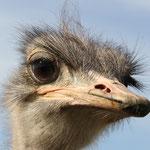 Struthionidae: Struthio camelus (Common Ostrich)