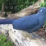 Coua caerulaea (Blue Coua), Cuculidae