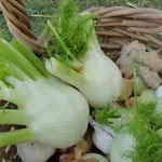 Fenchel fürs kleinblättrige Gemüse