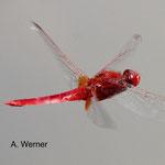 Feuerlibelle, im Flug, D02 Bebra, Fuldaaue gest. Kleingewässer, 24.07.13