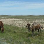 Les chameaux sont très nombreux le long de la route. Les abords sont plus vert que ce qu'on pensait.
