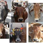 En Inde les vaches sont à tous les coins de rues et les modes changent selon les coins. Cornes vers le haut, ou vers le bas, colorées, vaches coquettes, bref il y a de tout