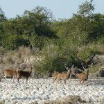 Des cervides dans le parc national de Bardia