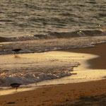 Les petits mangeurs de crustacés de la Caspienne