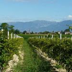 Le long de la plaine du Po, c'est plutôt plat... On longe les montagnes au milieu des vignes