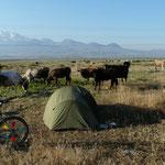 Campement au pied du mont  Erciyes (3916m le petit quand meme) et réveillés par des vaches un peu curieuses