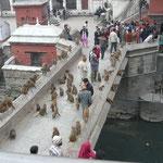 Les singes envahissent le temple de Pashupatinath (plus important templs hindu du pays)