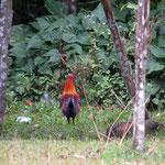 Dschungel Hahn