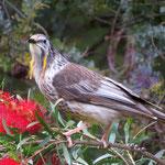 wattlebird  -  Honigfresser