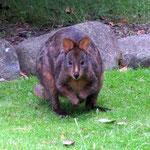 Wallabies im Garten  -  Wallabies in the garden
