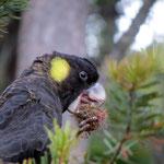 schwarzer Gelbschwanz Kakadu - yellow-tailed black cockatoo