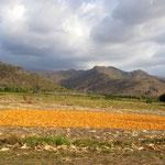 Meis zum  trocknen ausgebreitet - corn spread out for drying