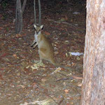 unser erstes Wallaby in freier Wildbahn  -  our first wallaby in the wild