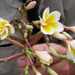 Frangipani - Nationalblume