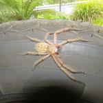 Huntsman sonnt sich auf unserem Vorderrad (nicht giftig)  -  huntsman sunning itself on our front wheel  (not venomous)