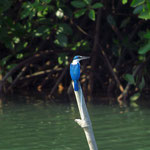 noch ein Eisvogel  -  another variety of kingfisher