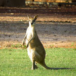 endlich mal ein Roo, dass nicht tot am Straßenrand liegt - finally a Roo that did not lie on the roadside