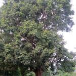 Heiliger Baum mit Opferhäuschen - holy tree with offerings to buddha