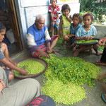 Nelkenernte , -  clove harvest