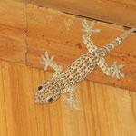 das große Gecko selten gesehen, oft gehört/ the big gecko - rarely seen but often heared