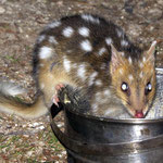 a quoll likes my vegie soup