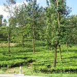 Teeplantagen - tea plantations