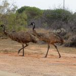 die ersten Emus - the first Emus