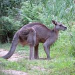 Das größte Känguru das wir gesehen haben  -  the biggest Roo we saw