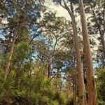 Bild von Frank Lindert - Karri trees