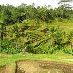 die berühmten Reisterrassen, oder was davon übrig ist  - the famous rice terracces . or what is left of them