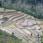 Flores hat auch schöne Reisterrassen  -  Flores has beautiful rice terracces too