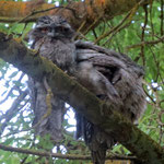 Australische Eule - some sort of owl ( tawny frogmouth)