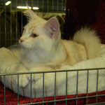 sabbia maine coon red silver