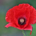 wild poppies.. © Im Augen Blick_Photography