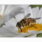 Biene... © Im Augen Blick_Photography