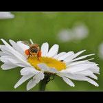Biene.. © Im Augen Blick_Photography