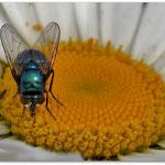 Fliege.. © Im Augen Blick_Photography