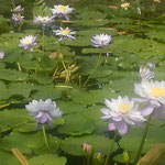 神戸どうぶつ王国の広い池一面に睡蓮が咲いていました。        ・睡蓮の池広々と満たし咲く(和良)