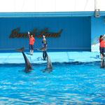 南知多ビーチランドでは海豚のショーが人気を呼んでいました。     ・水澄めりショーの海豚の艶もよく(和良)