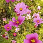 休耕田のコスモスはお仕舞まで綺麗な色を付けていました。  ・コスモスの仕舞の花の美しく(和良)