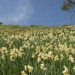 南あわじ市の灘黒岩水仙郷です。500万本の野水仙が咲き競っていました。  ・野水仙群れ咲く果ての空の青(和良)