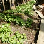 月ヶ谷温泉の渓流沿いに葉山葵の山葵田がありました。  ・山葵田の細き木道くねくねと(和良)