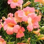 凌霄花は緑の垣根を丸ごと乗っ取り花を咲かせていました。 ・のうぜんの緑の垣根のっとりて(和良)