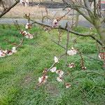 鳴門市の大麻比子神社前の梅林に早咲きの梅が一本ありました。          ・早梅のありて梅林華やげる(和良)