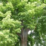 クトナーホラには花をつけた菩提樹の大木がたくさんありました。    ・菩提樹の花の盛りの街を行く(和良)