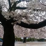 雨の日に見る公園の大きな桜の幹は真っ黒でした。           ・雨の日の桜の幹の黒さかな(和良)