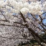吉野川オアシスサービスエリアの染井吉野です。            ・これほどの染井吉野の白さかな(和良)