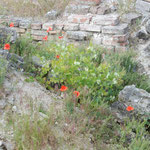 ブタペストの王宮の丘の遺跡に芥子の赤い花が咲いていました。     ・朽ち果てし遺跡に芥子の赤い花(和良)