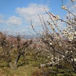 吉野川市鴨島町森藤で見た梅林です。                                           ・日に向かひ陰のなかりし梅の花(和良)