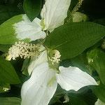 放り続く雨に半夏生は勢いを増しているように見えました。  ・雨の日の片白草の勢かな(和良)